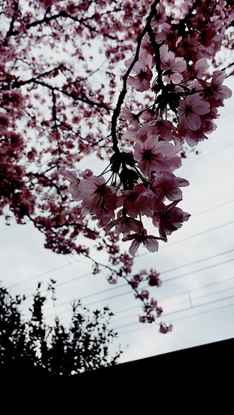 京都 LABOT - lab-t.com - サクラ。 -