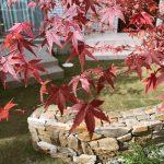 京都 LABOT - lab-t.com - シンボルツリー、綺麗に紅葉してるね! -