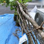 京都 LABOT - lab-t.com - 4Mのシンボルツリー@長岡京市Y様邸 -